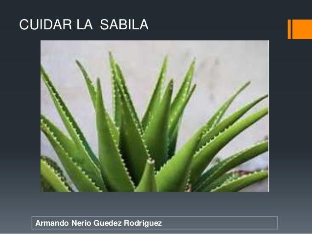 Armando Nerio Guedez Rodriguez CUIDAR LA SABILA