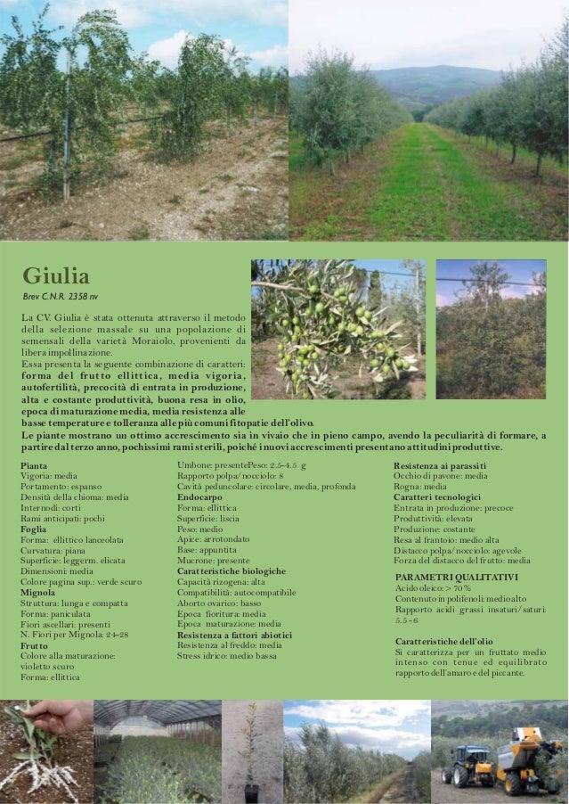 Società Agricola  Giulia Brev C.N.R. 2358 nv  La CV. Giulia è stata ottenuta attraverso il metodo della selezione massale ...