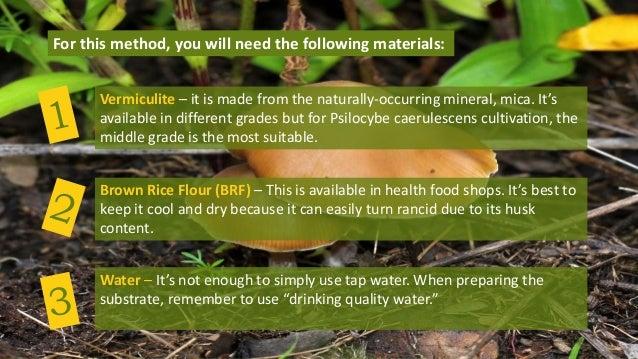 Cultivating Psilocybe Caerulescens