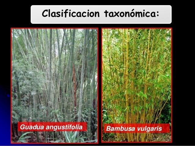 Cultivo bambu - Cultivo del bambu ...