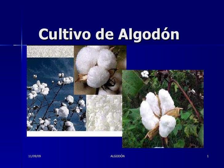 Cultivo de Algodón 11/09/09 ALGODÓN
