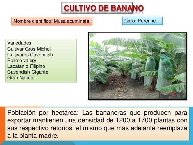 CULTIVO DE BANANO Nombre científico: Musa acuminata  Ciclo: Perenne  Variedades Cultivar Gros Michel Cultivares Cavendish ...
