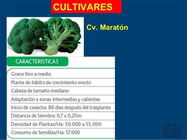 cultivo de brocoli
