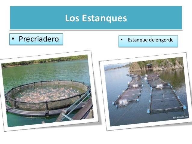 Cultivo de camarones en el ecuador for Criadero de camaron en estanques circulares