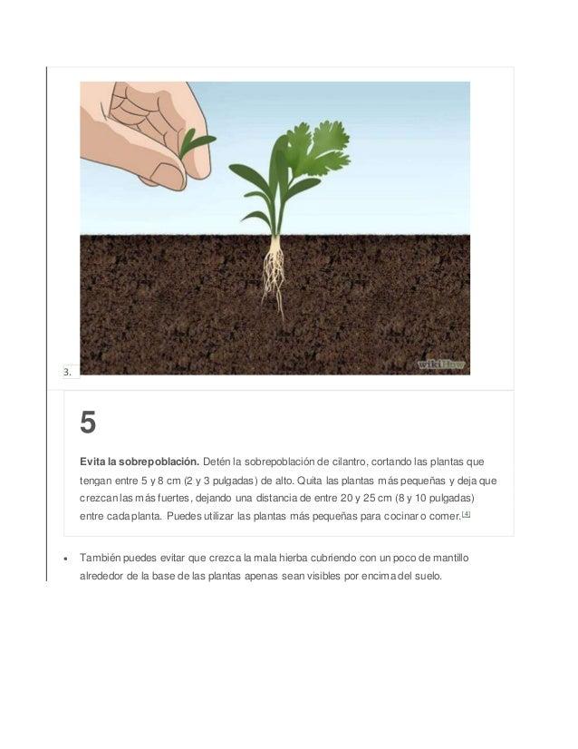 3. 5 Evita la sobrepoblación. Detén la sobrepoblación de cilantro, cortando las plantas que tengan entre 5 y 8 cm (2 y 3 p...