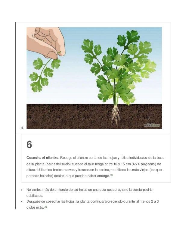 4. 6 Cosecha el cilantro. Recoge el cilantro cortando las hojas y tallos individuales de la base de la planta (cerca del s...