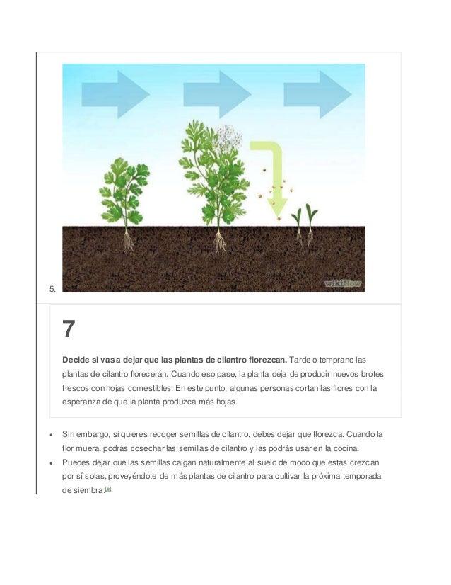 5. 7 Decide si vas a dejar que las plantas de cilantro florezcan. Tarde o temprano las plantas de cilantro florecerán. Cua...