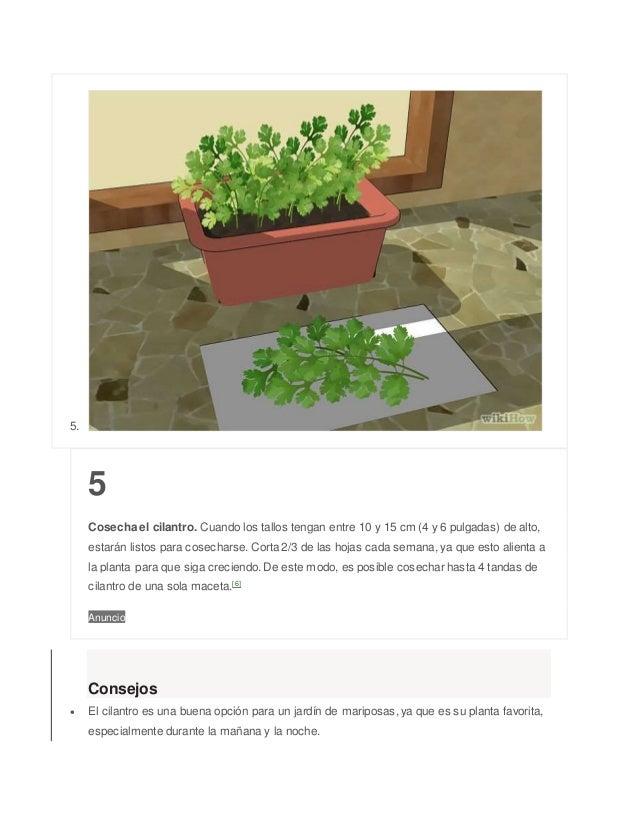 5. 5 Cosecha el cilantro. Cuando los tallos tengan entre 10 y 15 cm (4 y 6 pulgadas) de alto, estarán listos para cosechar...