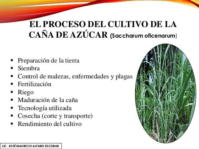 Cultivo de la ca a de az car for Maquinaria y utensilios para la produccion culinaria