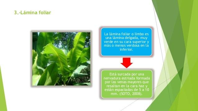 3.-Lámina foliar La lámina foliar o limbo es una lámina delgada, muy verde en su cara superior y más o menos verdosa en la...