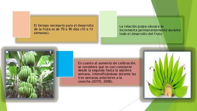 Cultivo del banano 1 for En cuanto tiempo se cosecha la tilapia