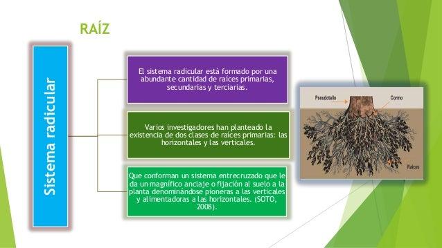 RAÍZ Sistemaradicular El sistema radicular está formado por una abundante cantidad de raíces primarias, secundarias y terc...