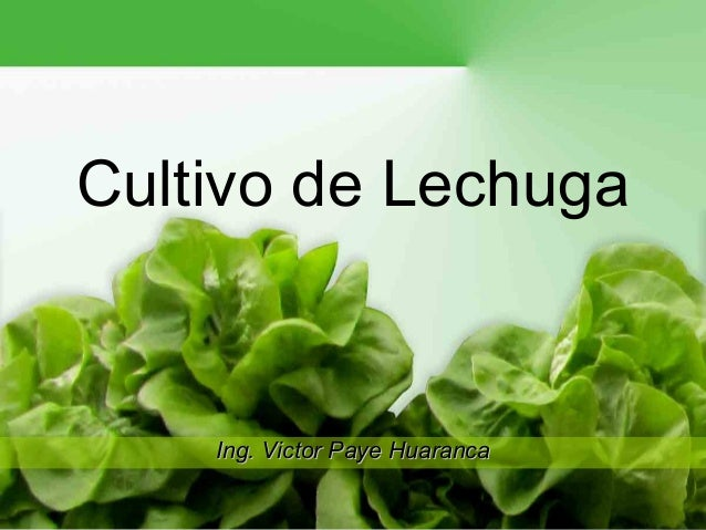 Cultivo de Lechuga    Ing. Victor Paye Huaranca                                1