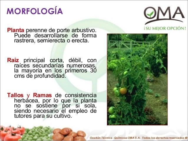 Cultivo De Tomate Presentacion 5