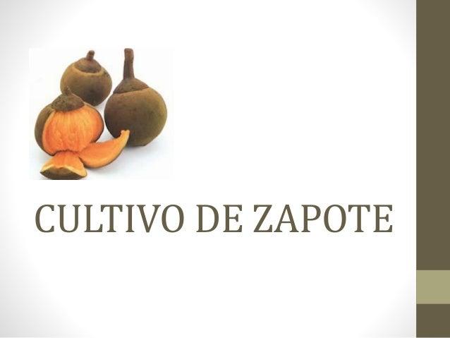 CULTIVO DE ZAPOTE