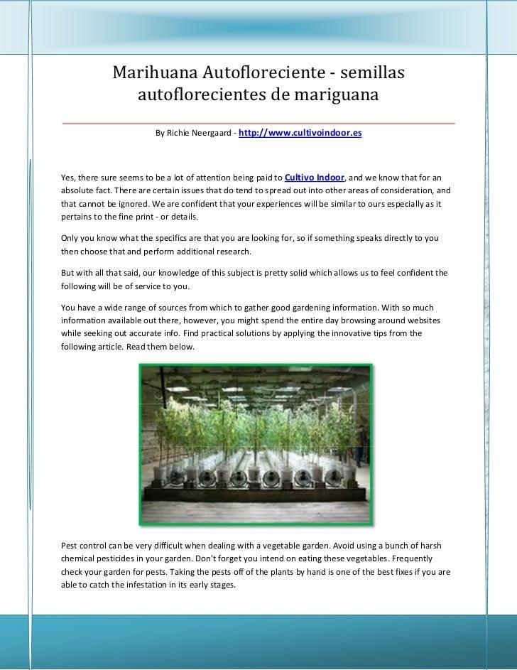 Marihuana Autofloreciente - semillas           autoflorecientes de mariguana______________________________________________...