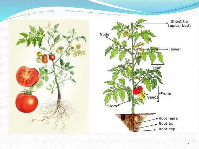 Resultado de imagen para raiz tomate