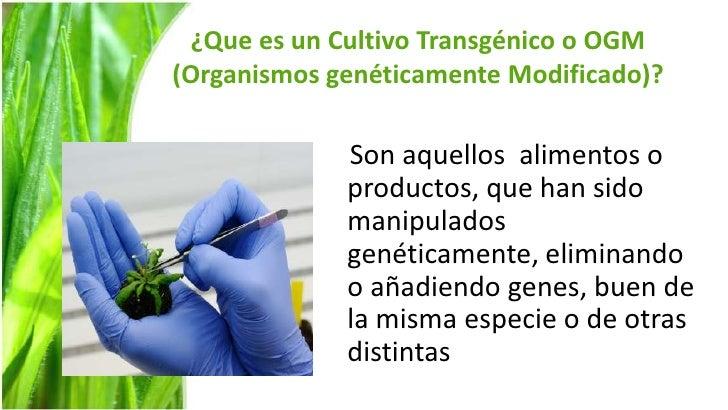 Cultivos transgenicos for Que son cultivos asociados