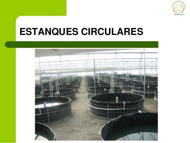 cultivo tilapia en estanques circulares