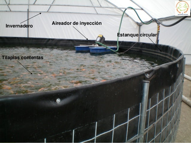 Cultivo tilapia en estanques circulares for Reproduccion de tilapia en estanque