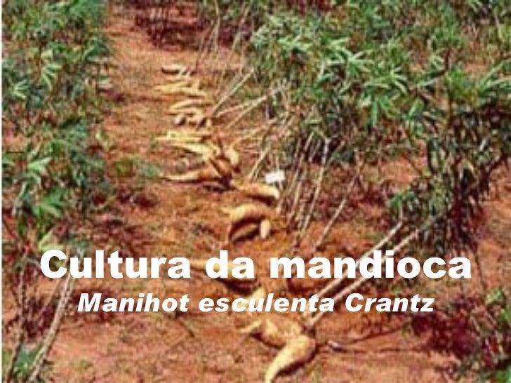Cultura da mandioca Manihot esculenta Crantz