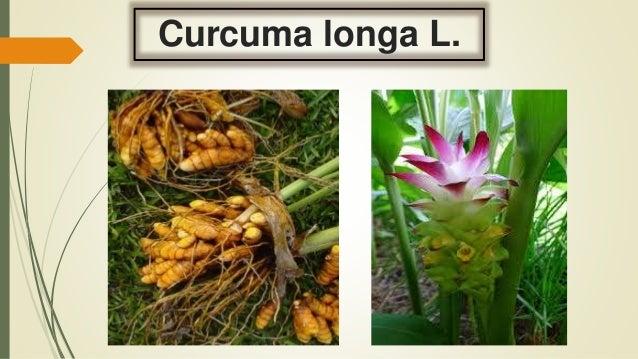 Curcuma longa L.