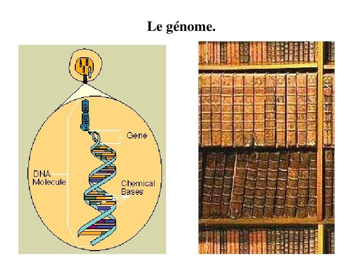 Le génome.