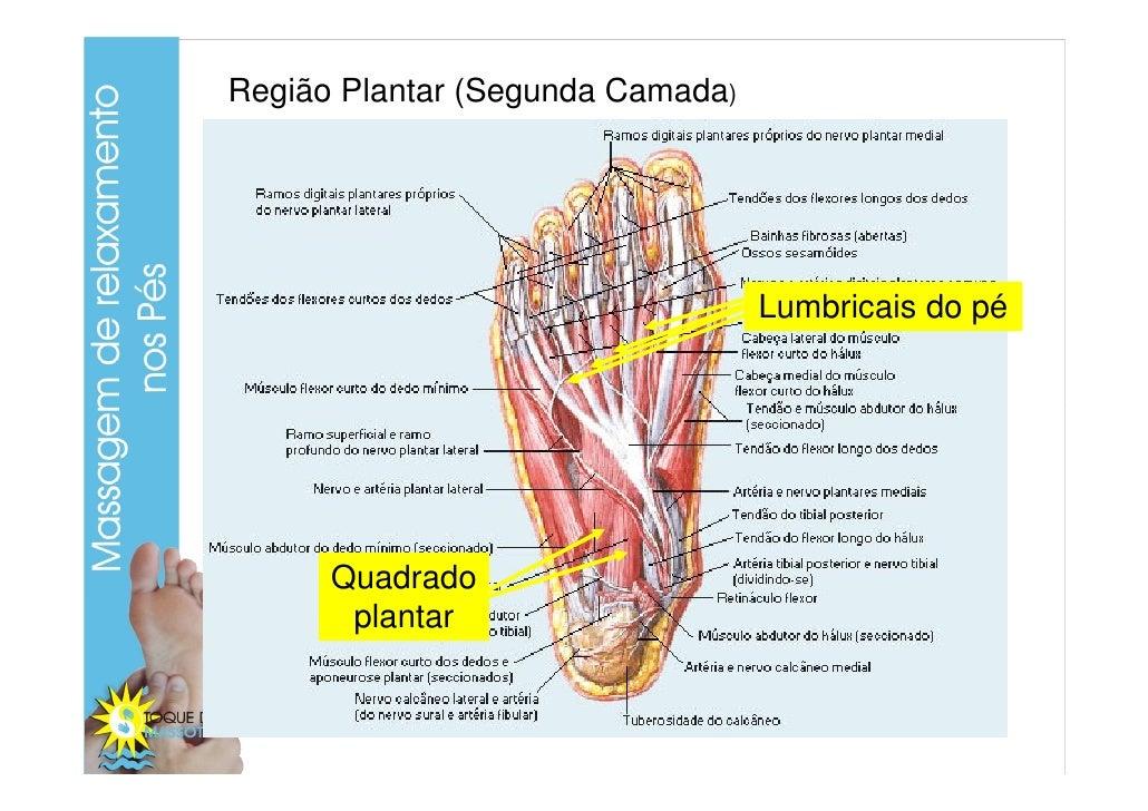 Lujo Anatomía Tendón Plantar Patrón - Imágenes de Anatomía Humana ...