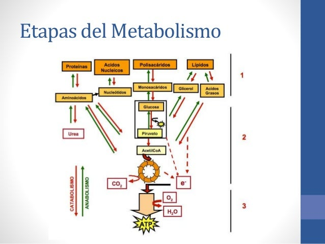 esquema general metabolismo Natural
