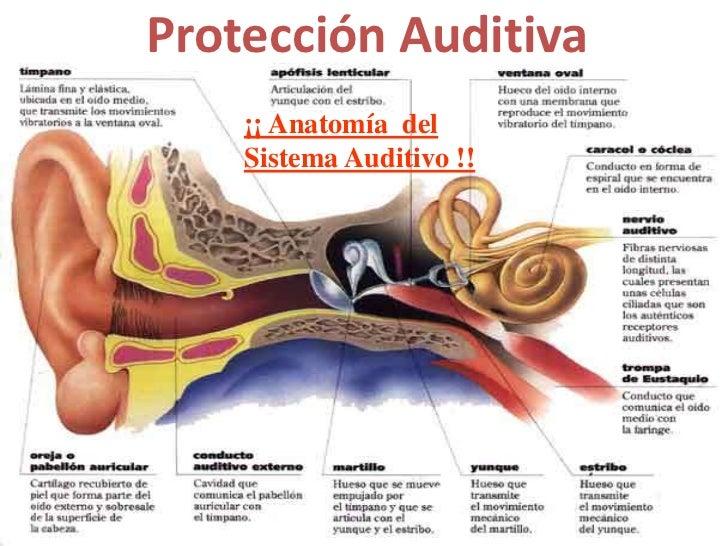 Contemporáneo Anatomía Del Sistema Auditivo Ornamento - Anatomía de ...