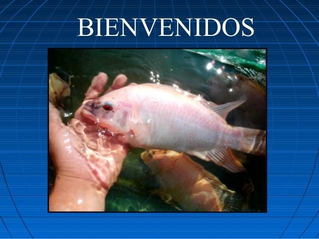 Curso de tilapia for Proyecto de tilapia en estanques