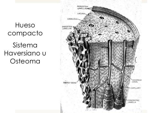Curso Histologia 05 Tejido Esqueletico Huesos