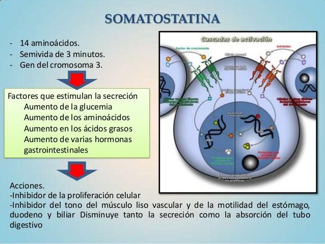 SOMATOSTATINA- 14 aminoácidos.- Semivida de 3 minutos.- Gen del cromosoma 3.Factores que estimulan la secreción    Aumento...