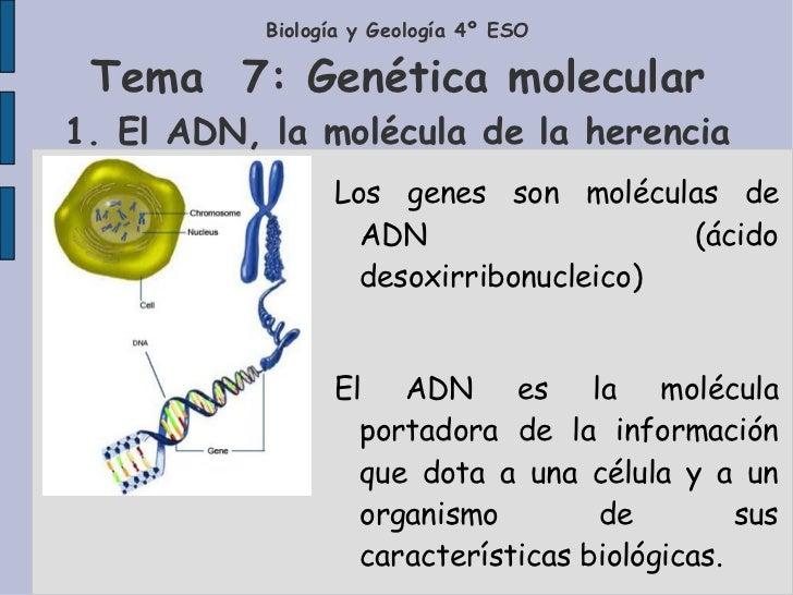 Biología y Geología 4º ESO Tema  7: Genética molecular 1. El ADN, la molécula de la herencia Los genes son moléculas de AD...