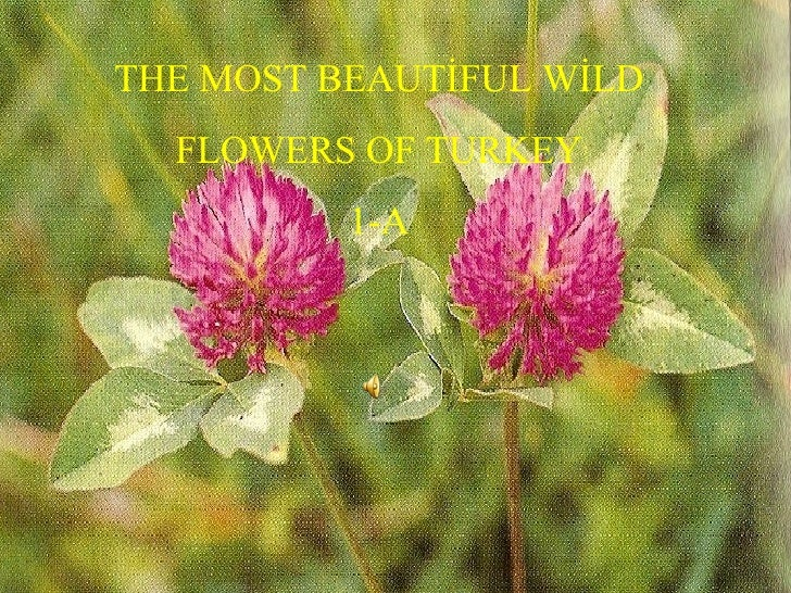THE MOST BEAUTİFUL WİLD FLOWERS OF TURKEY 1-A