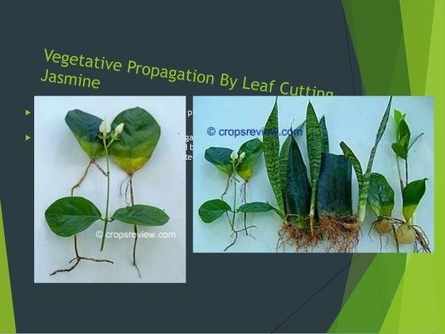 Leaf cutting asexual propagation