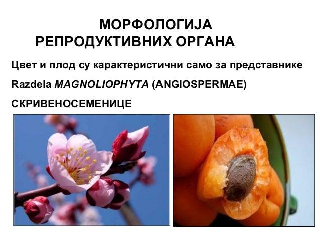 МОРФОЛOГИЈА РЕПРОДУКТИВНИХ ОРГАНA Цвет и плод су карактеристични само за представнике Razdela MAGNOLIOPHYTA (ANGIOSPERMAE)...