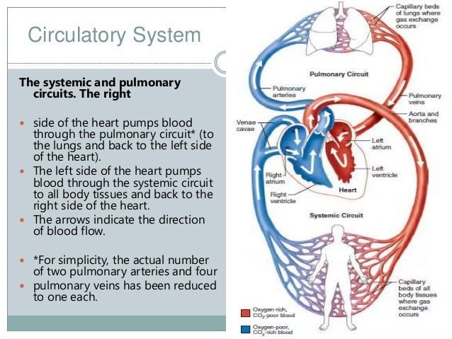The Cardiac System Image Collections Human Anatomy Diagram