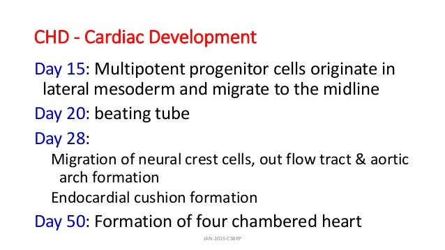 CHD - Cardiac Development Day 15: Multipotent progenitor cells originate in lateral mesoderm and migrate to the midline Da...