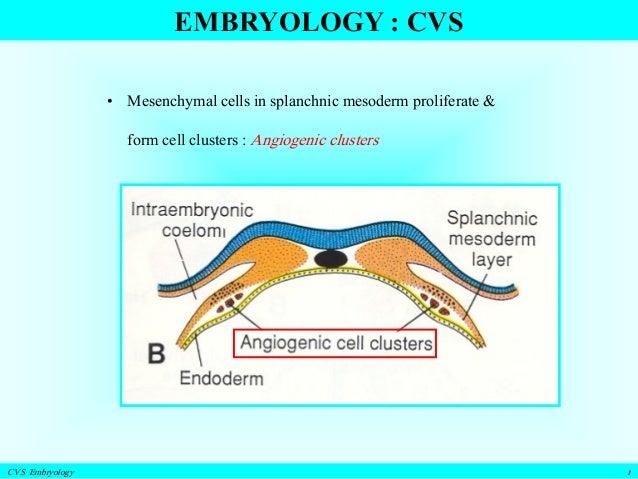 Cvs+embryology+part+i+ +a2+students+only Slide 3
