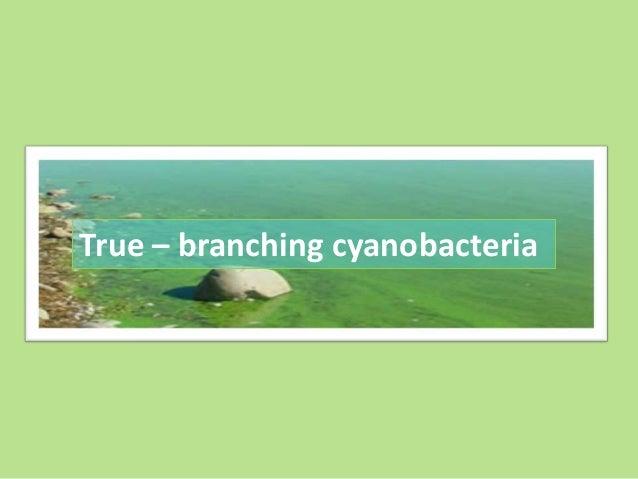 True – branching cyanobacteria