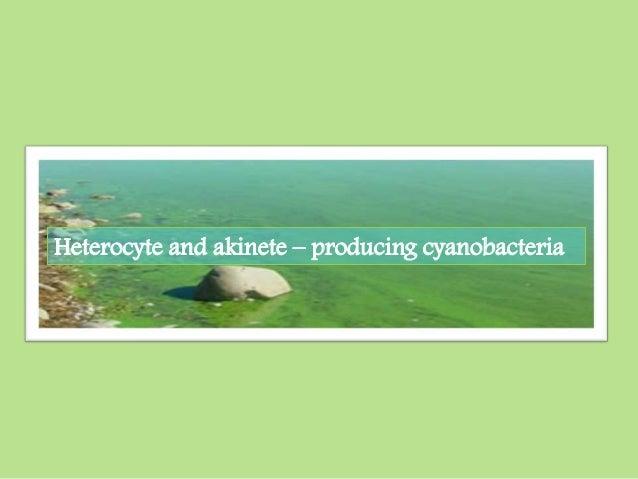 Heterocyte and akinete – producing cyanobacteria