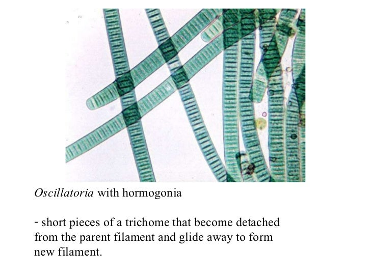Cyanobacteria lecture  Cyanobacteria l...