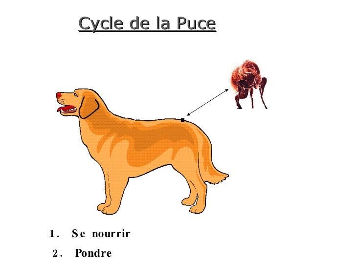 Cycle de la Puce 1.  Se nourrir 2.  Pondre