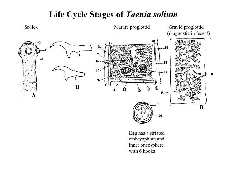 Cyclophyllidean Tapeworms