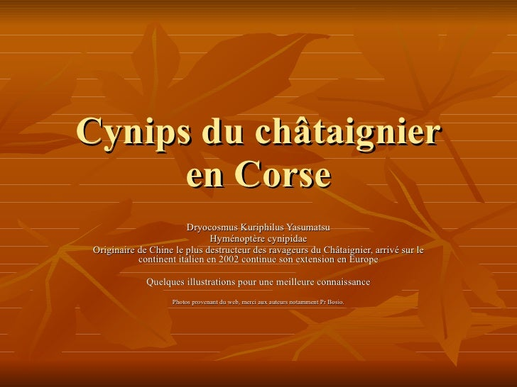 Cynips du châtaignier en Corse Dryocosmus Kuriphilus Yasumatsu Hyménoptère cynipidae Originaire de Chine le plus destructe...