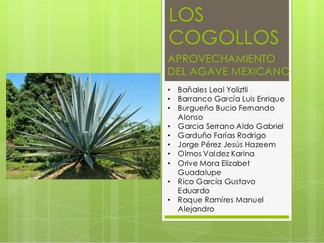 LOSCOGOLLOSAPROVECHAMIENTODEL AGAVE MEXICANO• Bañales Leal Yoliztli• Barranco García Luis Enrique• Burgueño Bucio Fernando...