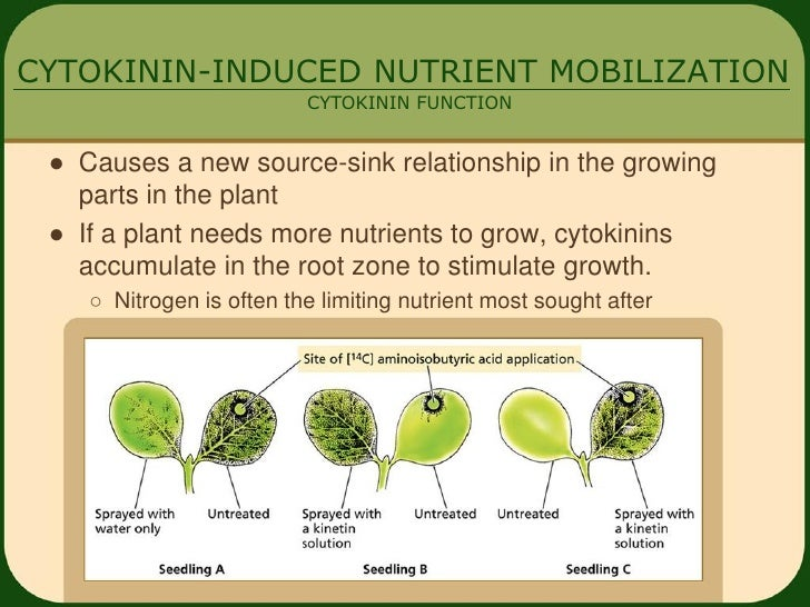 relationship between auxins and cytokinins in food