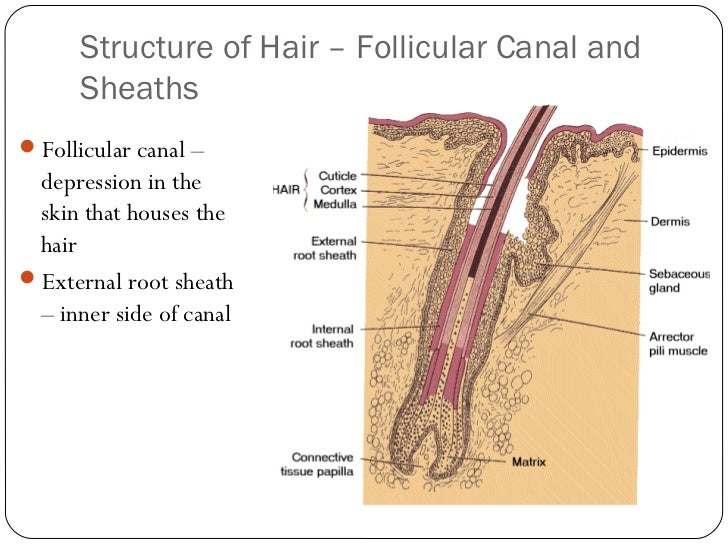 D Anatomy And Physiology Of The Hair And Skin