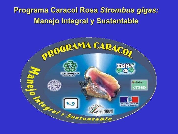 Programa Caracol Rosa  Strombus gigas:  Manejo Integral y Sustentable
